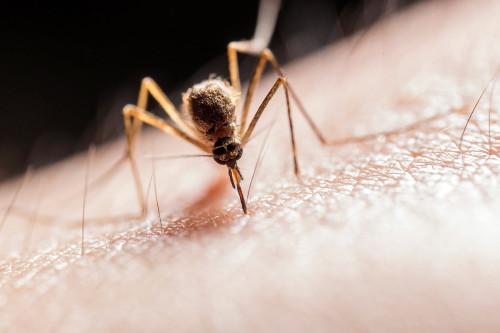 Remède naturel conte les piqûres de moustiques